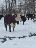 Beef Cows for Sale
