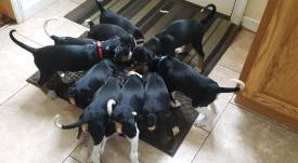 Treeing Walker Coonhound Pups