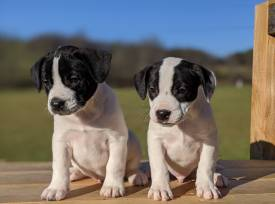 2 Male Puppies